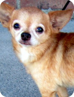 Chihuahua Mix Dog for adoption in Los Angeles, California - Carlos *VIDEO*