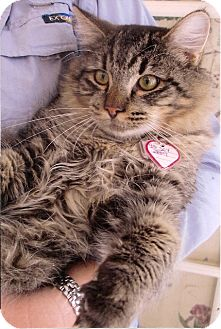 Maine Coon Cat for adoption in Davis, California - Jesse