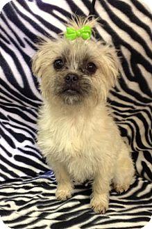 Brussels Griffon/Brussels Griffon Mix Dog for adoption in Hazard, Kentucky - Saddie