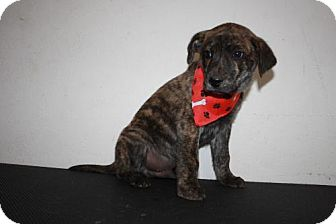 Plott Hound/Labrador Retriever Mix Puppy for adoption in Stilwell, Oklahoma - Mutt