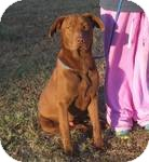 Labrador Retriever Mix Dog for adoption in East Hartford, Connecticut - Ross in Ct
