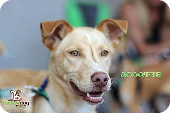 Husky/Golden Retriever Mix Dog for adoption in Alpharetta, Georgia - Scooter