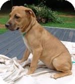 Mastiff Mix Puppy for adoption in Allentown, Pennsylvania - Tess