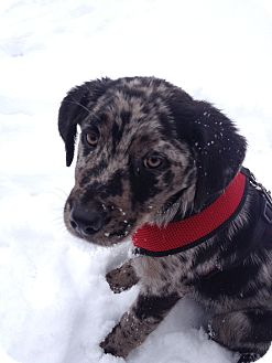Australian Shepherd/Labrador Retriever Mix Puppy for adoption in kennebunkport, Maine - Lance - PENDING