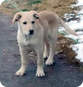 Labrador Retriever Mix Puppy for adoption in Wichita Falls, Texas - Shelton