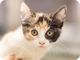 Domestic Shorthair Kitten for adoption in Dallas, Texas - Raleigh