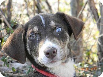Australian Shepherd Puppy for adoption in Chester, Illinois - Avery