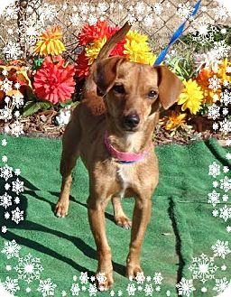 Dachshund Dog for adoption in Marietta, Georgia - ABILENE