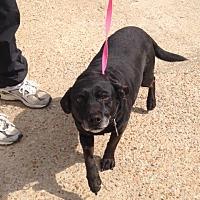 Labrador Retriever/Basset Hound Mix Dog for adoption in Baton Rouge, Louisiana - Hope