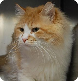 Maine Coon Cat for adoption in Oakland, California - Weeble
