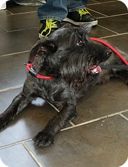 Scottie, Scottish Terrier Mix Dog for adoption in Freeport, New York - Mickey
