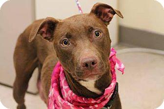 Labrador Retriever/Retriever (Unknown Type) Mix Dog for adoption in Lebanon, Connecticut - Wilma