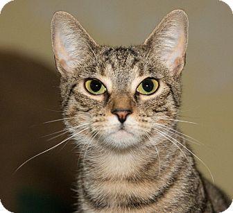 Domestic Shorthair Cat for adoption in Seville, Ohio - Duma