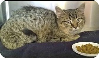 Domestic Shorthair Kitten for adoption in McHenry, Illinois - Drew