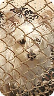 Westie, West Highland White Terrier/Yorkie, Yorkshire Terrier Mix Dog for adoption in Mary Esther, Florida - Stewart