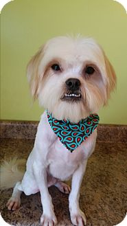 Shih Tzu Mix Dog for adoption in Biddeford, Maine - Sammy