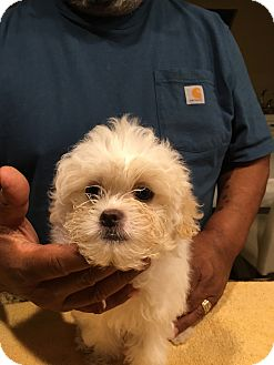 Poodle (Toy or Tea Cup)/Japanese Chin Mix Puppy for adoption in San Diego, California - Squeaky