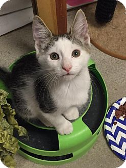 Domestic Shorthair Kitten for adoption in Bensalem, Pennsylvania - Hamlet