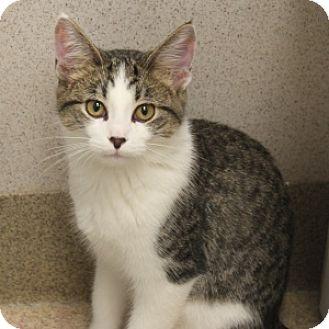 Domestic Shorthair Kitten for adoption in Naperville, Illinois - Quinn