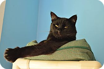 Domestic Shorthair Cat for adoption in Beacon, New York - Sawyer