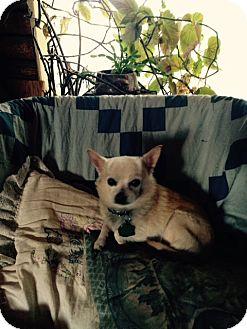 Pomeranian/Chihuahua Mix Dog for adoption in Cardwell, Montana - Brian