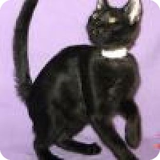 Domestic Shorthair Cat for adoption in Powell, Ohio - Arthur