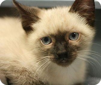 Tonkinese Kitten for adoption in Canoga Park, California - Sushi