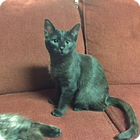 Domestic Mediumhair Cat for adoption in Ellicott City, Maryland - Jack