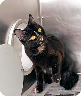 Domestic Shorthair Cat for adoption in Las Vegas, Nevada - Violet