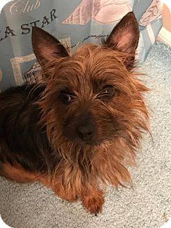 Yorkie, Yorkshire Terrier Dog for adoption in Pataskala, Ohio - Bambi