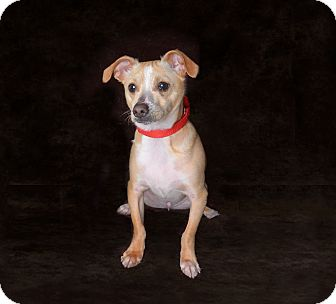 Chihuahua/Terrier (Unknown Type, Small) Mix Dog for adoption in Van Nuys, California - Oakley