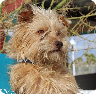 Terrier (Unknown Type, Medium) Mix Dog for adoption in Yucca Valley, California - Pickles Duke Blue