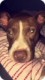 American Staffordshire Terrier Mix Puppy for adoption in Sturbridge, Massachusetts - Sailor