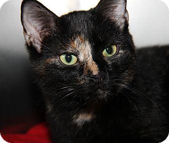 Domestic Shorthair Cat for adoption in Marietta, Ohio - Nikki (Spayed)