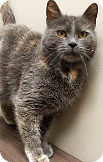 Domestic Shorthair Cat for adoption in Oswego, Illinois - ADOPTED in CTS Layla