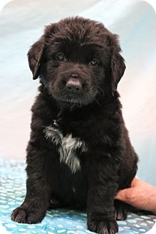 Border Collie/Labrador Retriever Mix Puppy for adoption in Southington, Connecticut - Curly