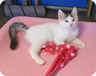 Turkish Van Kitten for adoption in Glendale, Arizona - Jessica