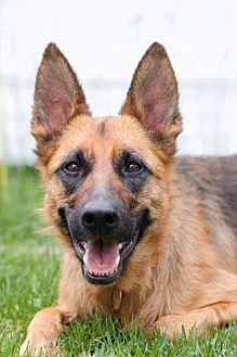 German Shepherd Dog Dog for adoption in Wayland, Massachusetts - Bella