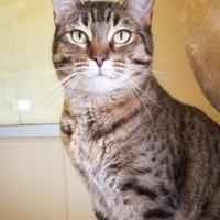 Domestic Shorthair/Domestic Shorthair Mix Cat for adoption in Fredericksburg, Texas - Betty