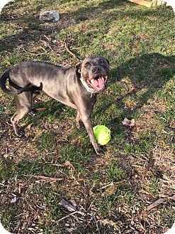 American Pit Bull Terrier/Great Dane Mix Dog for adoption in Eastpointe, Michigan - Karma!