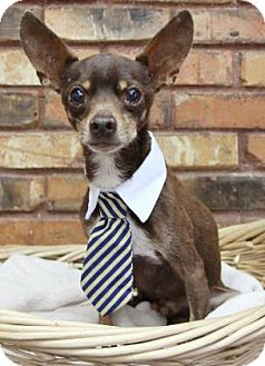 Chihuahua Mix Dog for adoption in Benbrook, Texas - Teddy