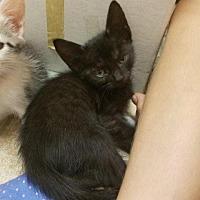 Adopt A Pet :: Midnight - Palm Desert, CA