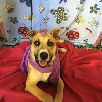 Boxer/Shepherd (Unknown Type) Mix Dog for adoption in Walpole, Massachusetts - Gracie