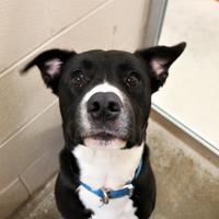 Adopt A Pet :: Neno - Auburn, AL