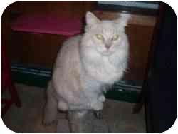Domestic Longhair Cat for adoption in Hamburg, New York - Buffy
