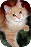 Norwegian Forest Cat Kitten for adoption in Arlington, Virginia - Cinnamon