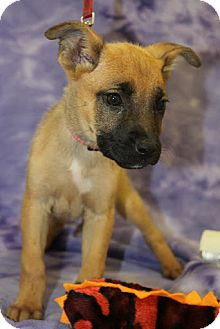 Shepherd (Unknown Type) Mix Puppy for adoption in Broomfield, Colorado - Shiloh