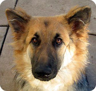 German Shepherd Dog Dog for adoption in Oakley, California - Amelia