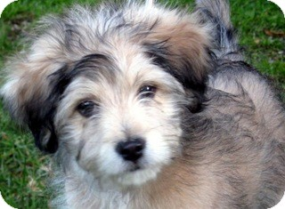 Terrier (Unknown Type, Small) Mix Puppy for adoption in Los Angeles, California - Wesley *VIDEO*