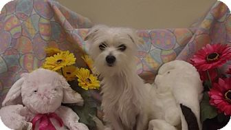 Maltese/Chihuahua Mix Dog for adoption in Marshall, Texas - Bella